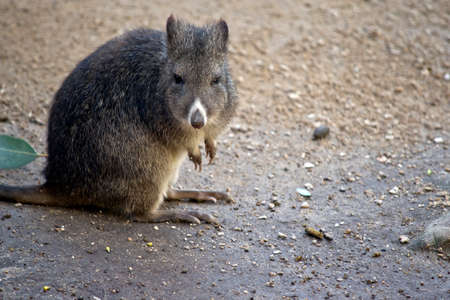 the long nosed potoroo is resting on the path