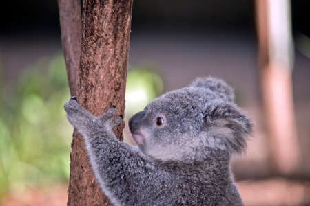 this is a close up of a joey koala Stock Photo