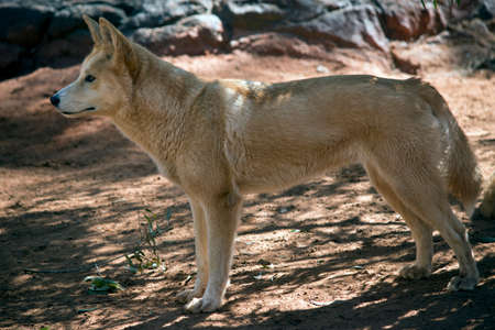 this is a side view of a golden dingo Stock fotó