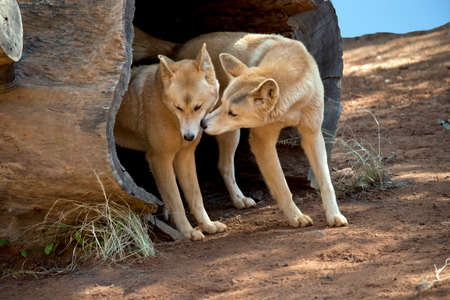 thje dingos are in a wood hollow of an old tree