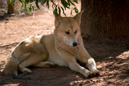 the golden dingo is resting in the shade Stock Photo