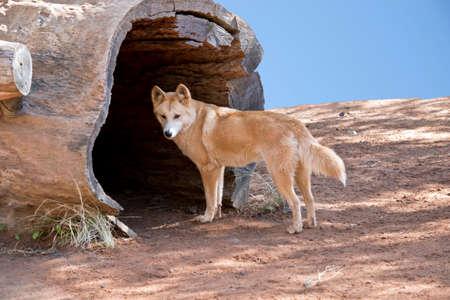 orange fox going to the tree cave