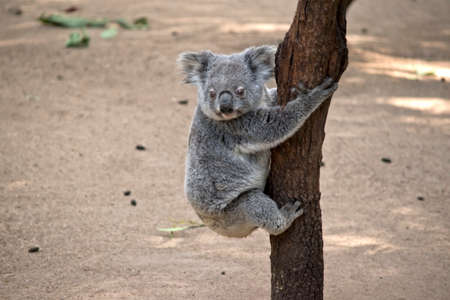 the joey koala is trying to go down the tree Stock Photo