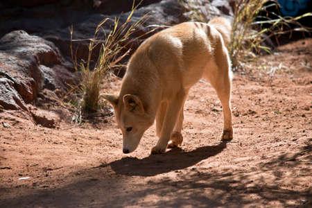 golden dingo walking with head down Stock Photo