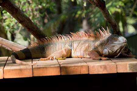 this is a side view of a green iguana