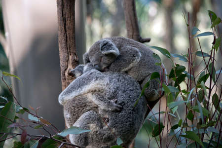 the mother koala is hugging one joey while a second jooey is resting on her back