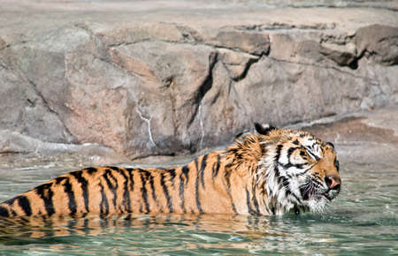 the tiger is in the water to cool off