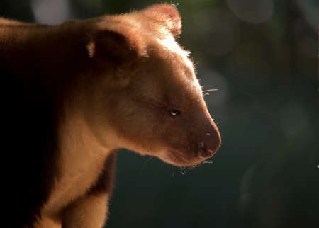 close up of a tree  kangaroo Stock Photo