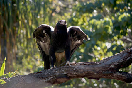 wedge tailed eagle is about to take off