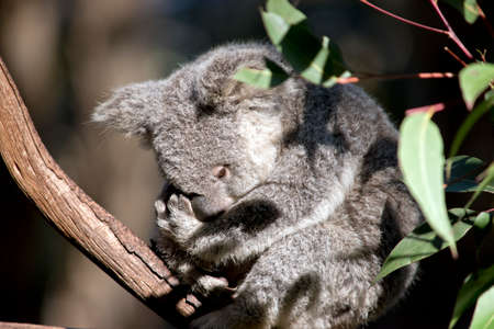 this joey koala is resting in a tree