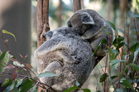 mother koala is hugging one joey while a second jooey is resting on her back Stock Photo
