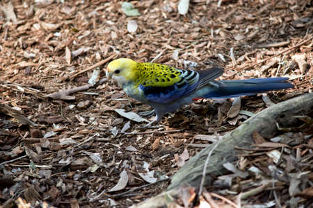 side view of a pale headed rosella Stock Photo