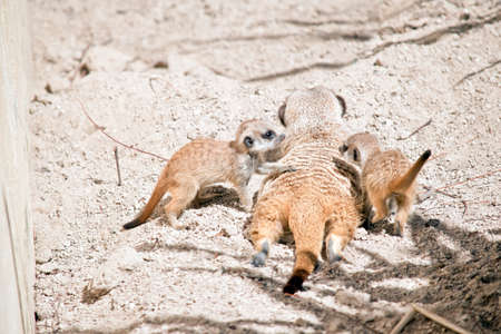 the kit meerkat are playing in the dirt next to their mom