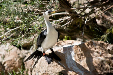 the pied cormorant is standing on a rock