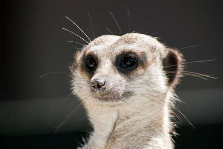 this is a close up of a meerkat