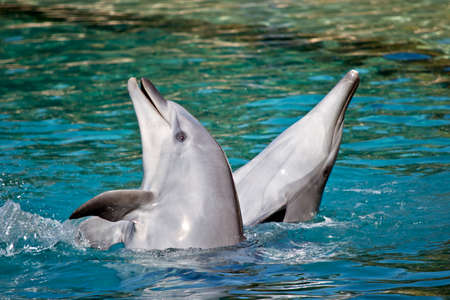 the bottlenose dolphin are playing in the water splashing about