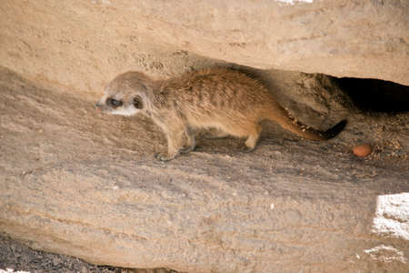 this is a side view of a kit meerkat