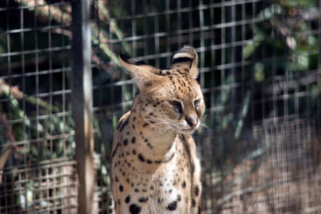 the several is a sleek spotted cat with whiskers