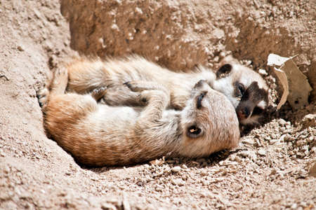 the kit meerkat are resting in the dirt