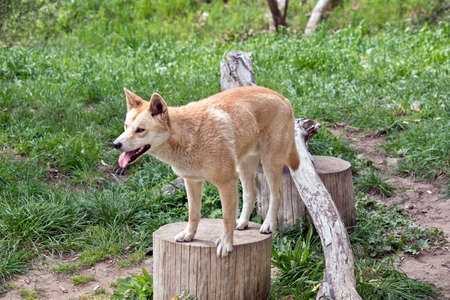 the golden dingo is standing on a tree stump Stock Photo