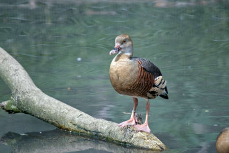 the wandering whistling duck is standing on a log