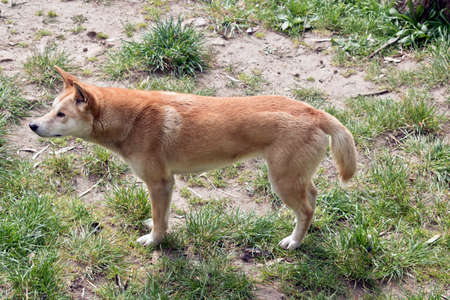 this is a side view of a golden dingo Stock Photo