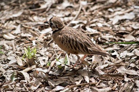 the inland dotterel hides in the leaves and twigs