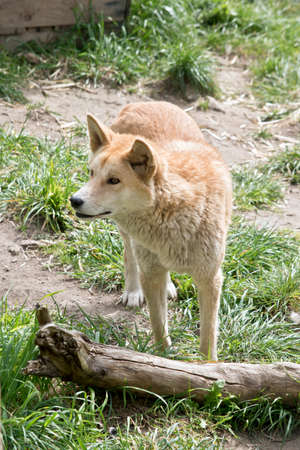 the golden dingo is walking in the park Stock Photo