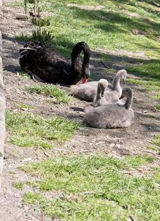 the swan is watching over her three cygnets