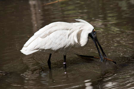 the royal spoonbill has picked up a stick to put on his nest Stock Photo
