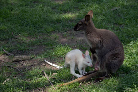 the red necked wallaby is next to her joey Stock Photo