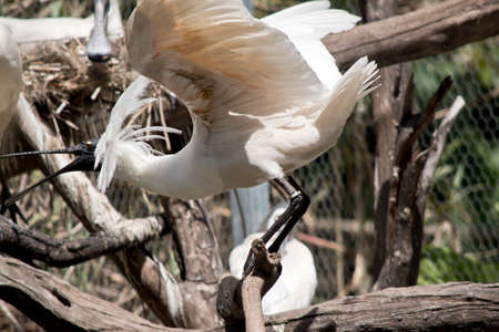 the royal spoonbill is flapping his wings ready to take off Stock Photo