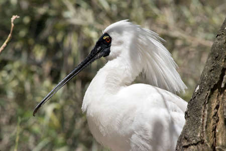 this is a side view of a royal spoonbill Stock Photo