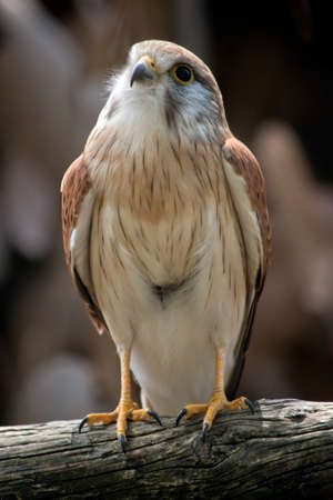 this is a close up of a nankeen kestrel 写真素材 - 113040294