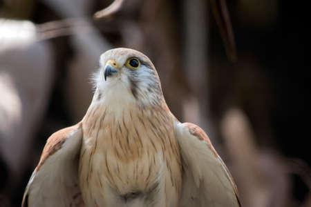 nankeen kestrel bird Фото со стока