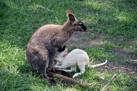 A red necked wallaby nursing her baby joey