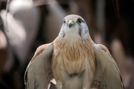 this is a close up of a nankeen kestrel 写真素材 - 111448707