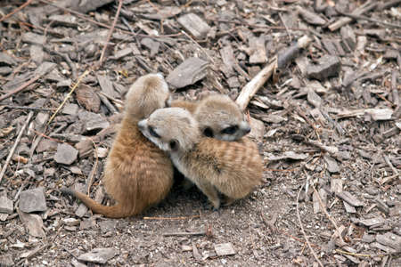 the meerkat kits are just 5 weeks old and huddle together
