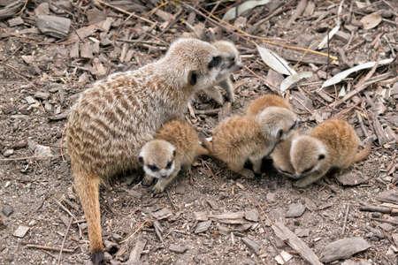 the mother meerkat is watching over her kits