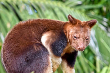 this is a close up of a tree kangaroo