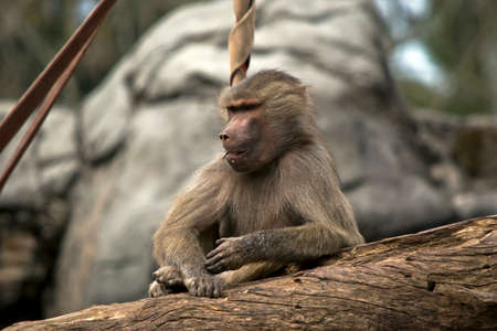 the young baboon is sitting on a log resting