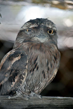 the tawny frogmouth is perched on a piece of wood 版權商用圖片