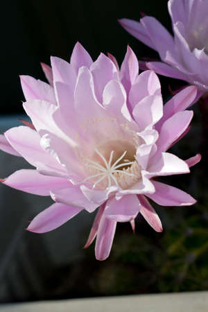 the cactus flower lasts 24 hours and dies Banco de Imagens