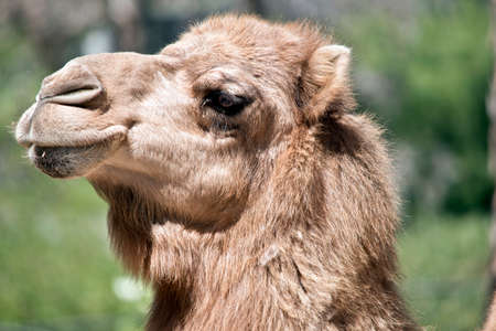 this is a close up of a dromedary camel