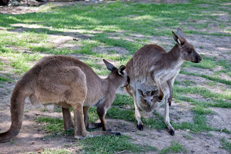 the western grey kangaroo has a joey in her pouch