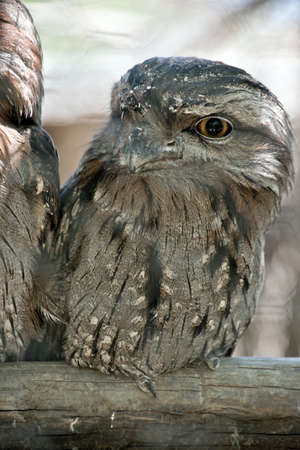 this is a close up of a tawny frogmouth
