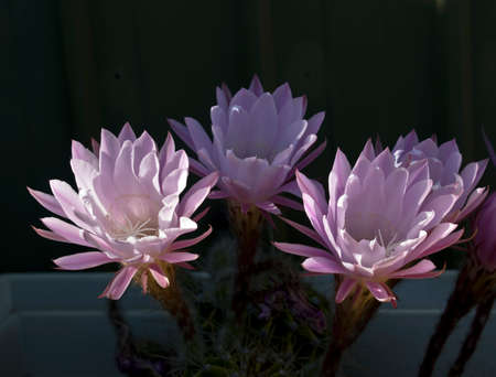 the cactus flower lasts 24 hours and dies Banco de Imagens