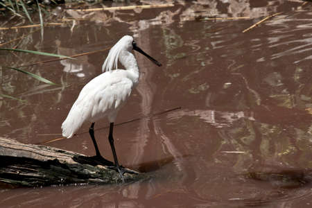 the royal spoonbill is looking for food in the muddy water