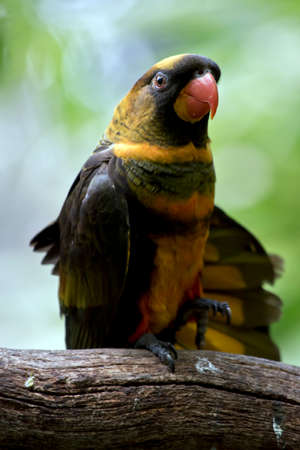 the dusky lory is spreading his wings
