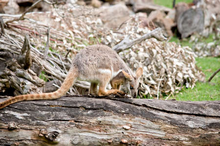 the yellow footed rock wallaby is on a log Stockfoto